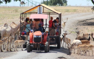 Camels and deer surrounding a tour trailer.