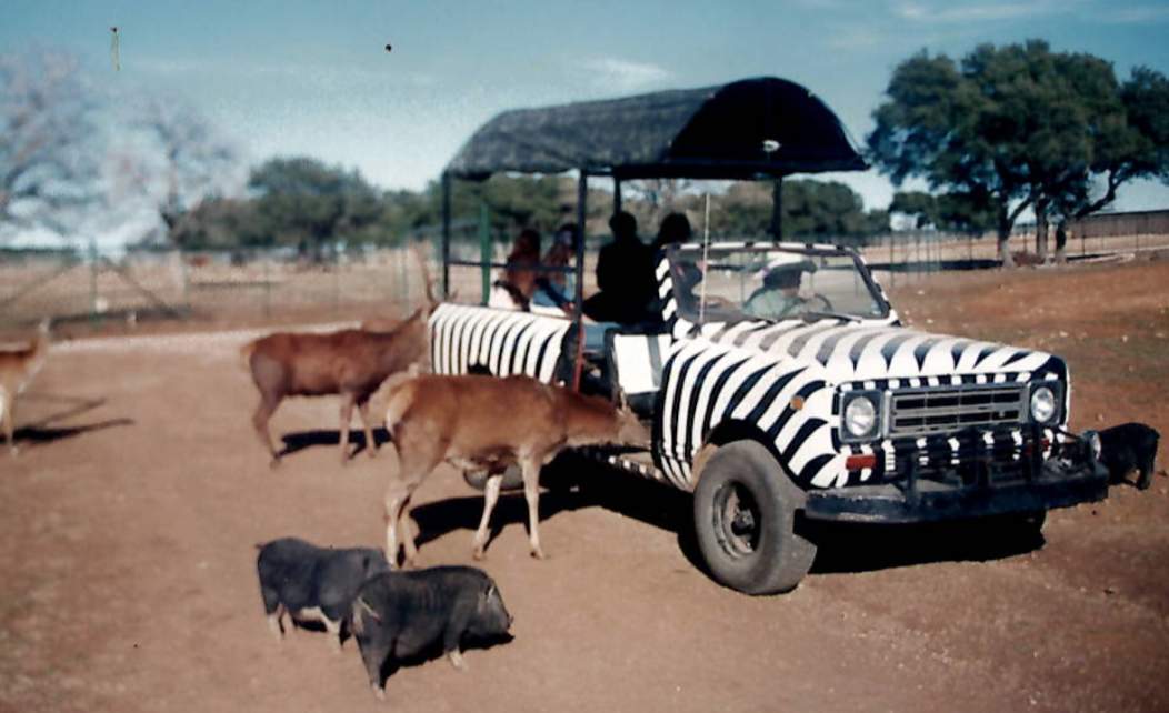Deer and pigs approaching zebra striped truck.